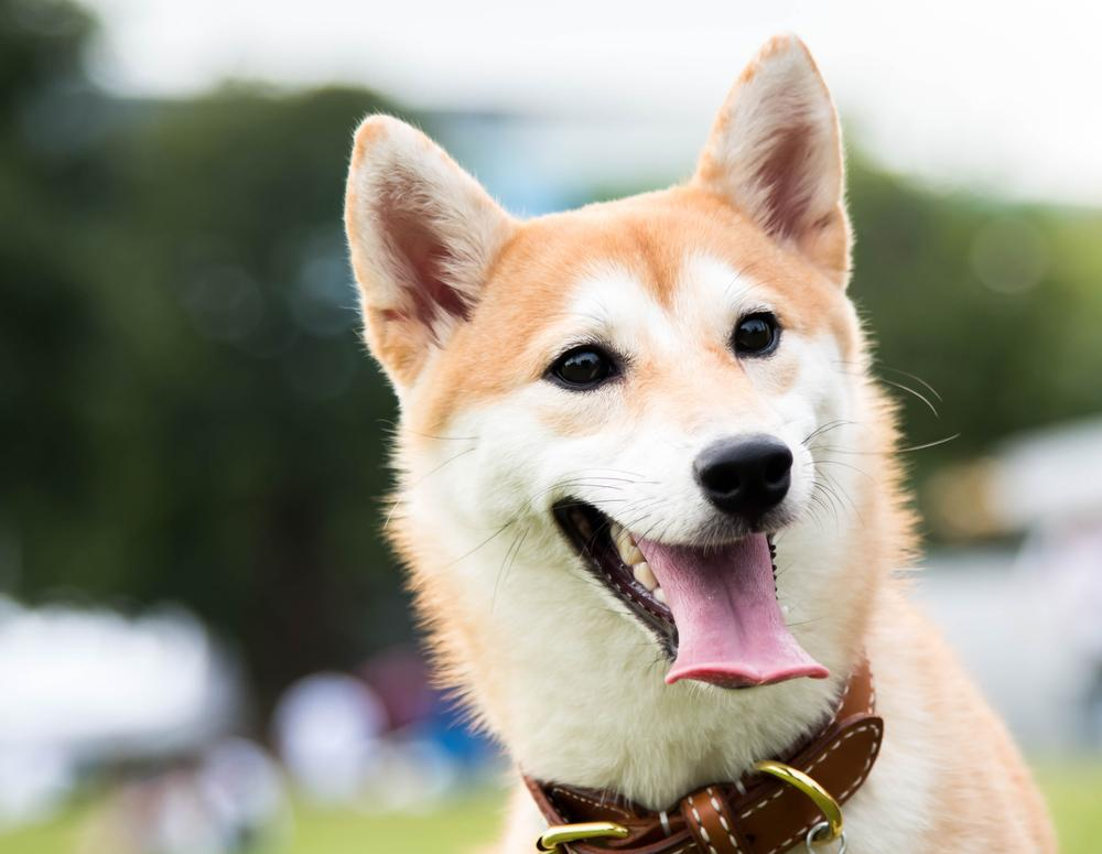 Shiba Inu cachorro