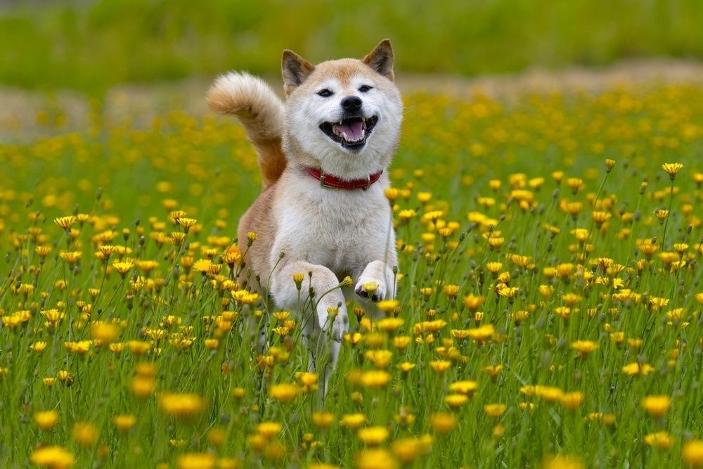 Shiba Inu correndo