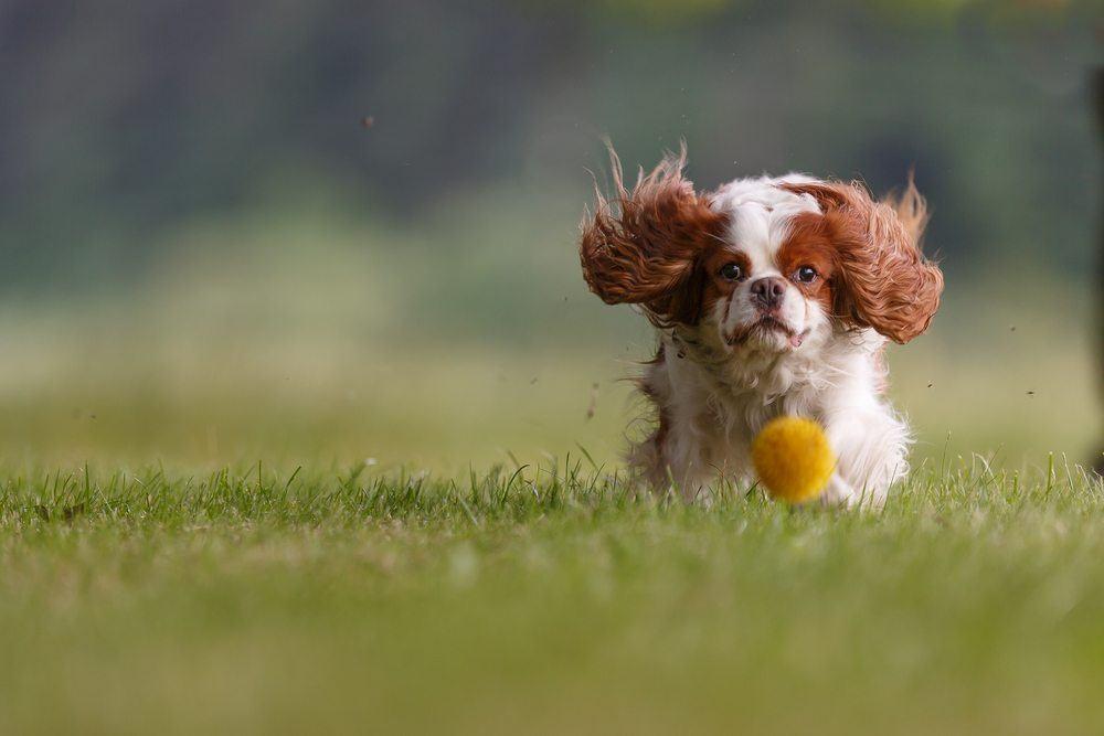 Cavalier King Charles Spaniel correndo