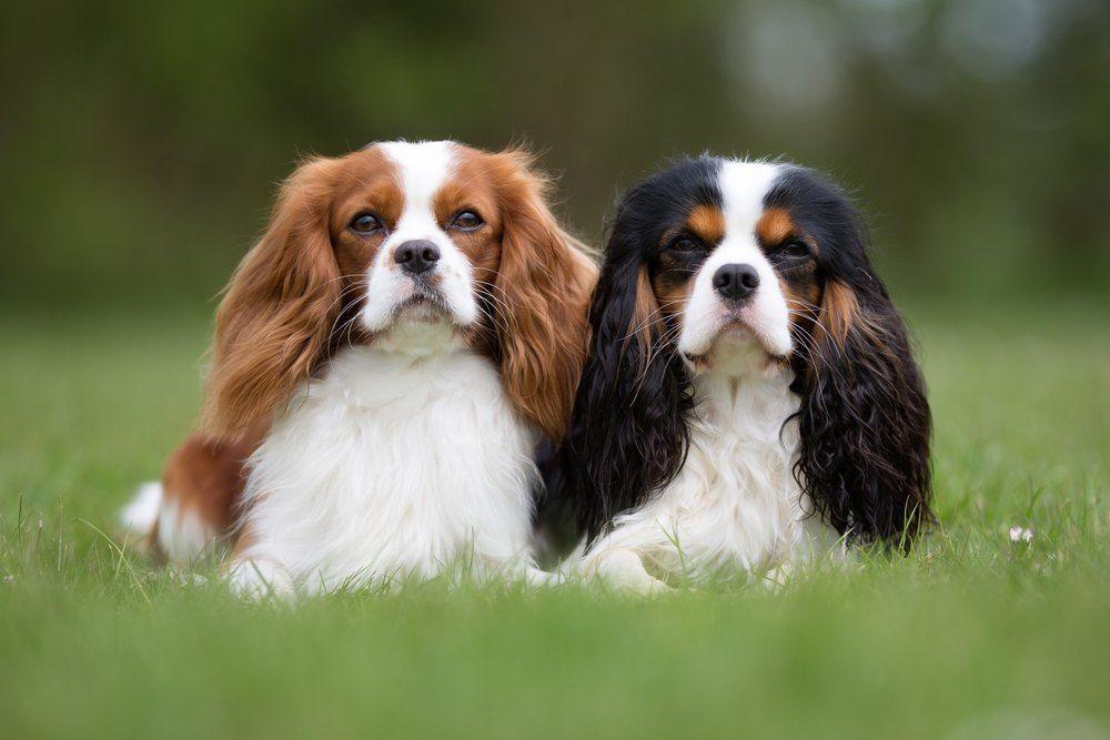 Cavalier King Charles Spaniel cachorro