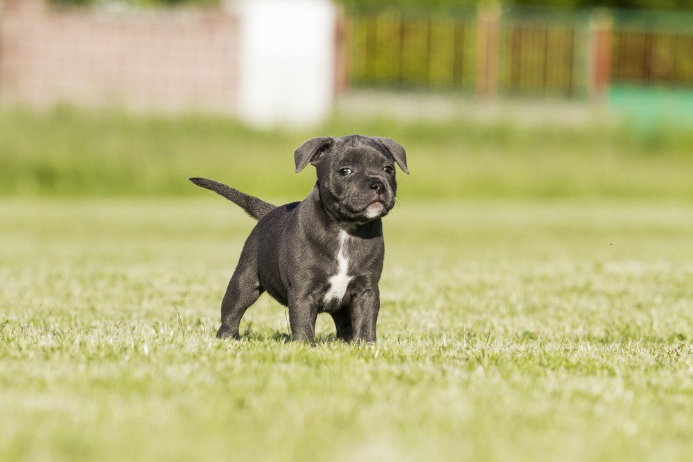 Staffordshire Bull terrier filhote