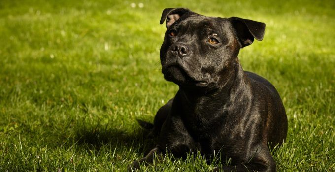 Staffordshire Bull terrier cão