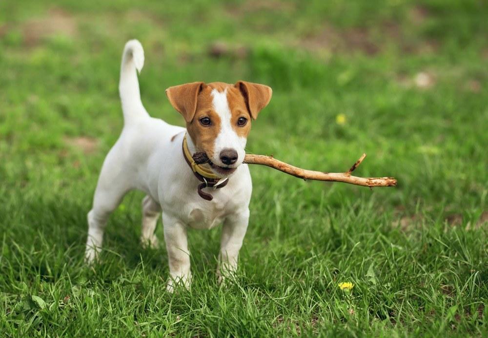 Jack Russell terrier raça