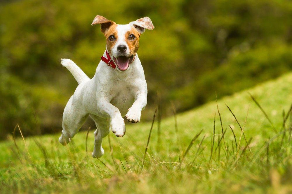 Jack Russell terrier correndo
