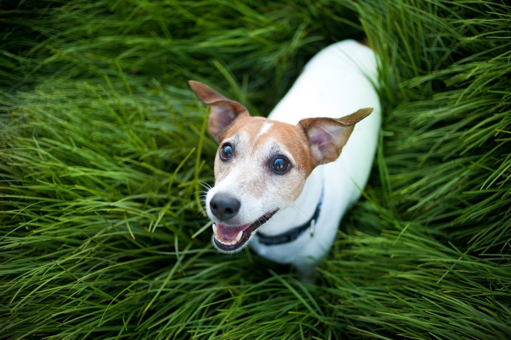 Jack Russell terrier cachorro
