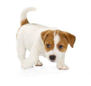 Jack Russell terrier cão