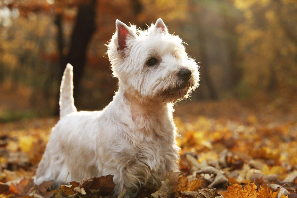 West Highlander White terrier raça