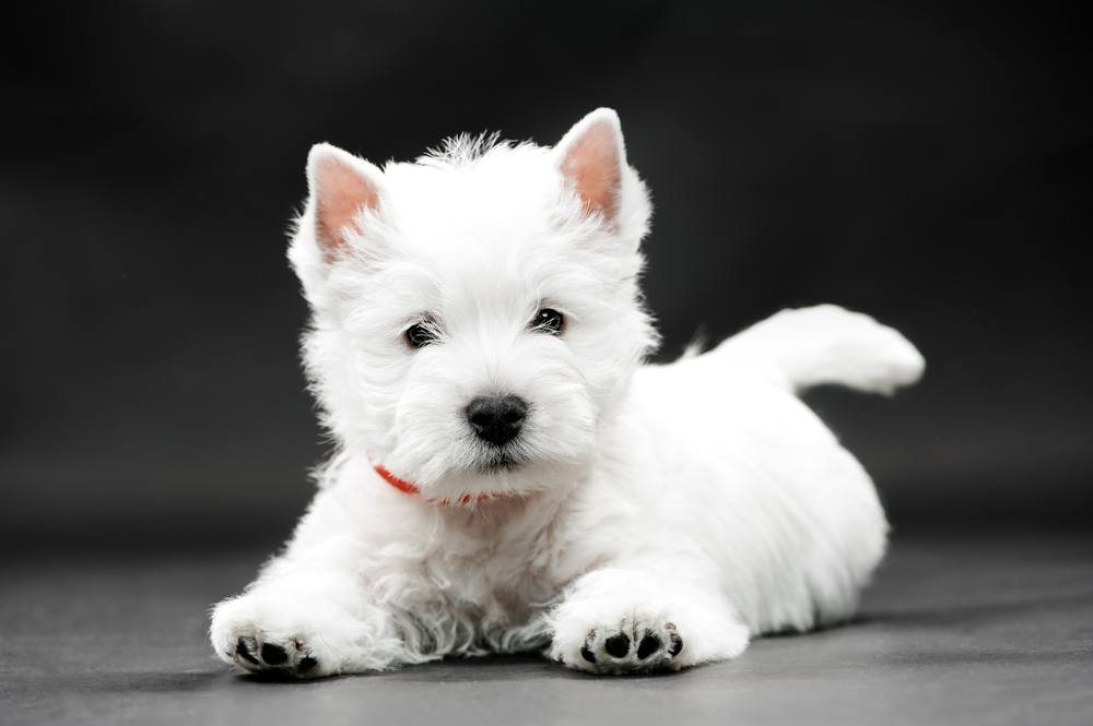 West Highlander White terrier filhote