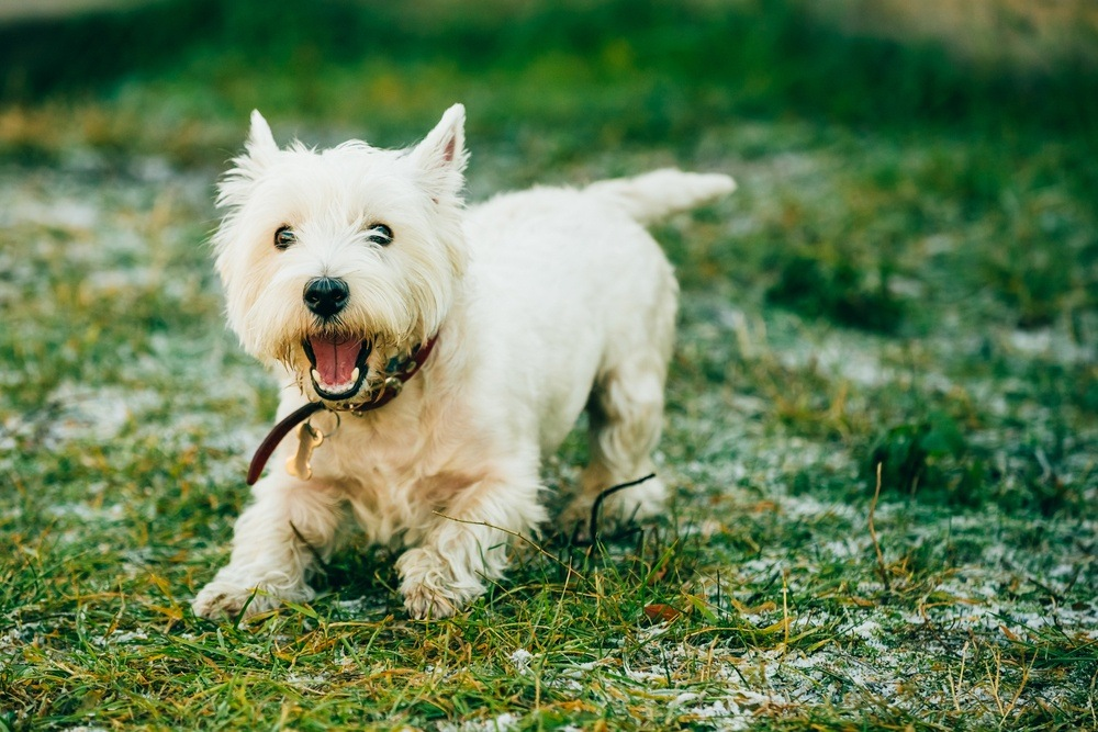 West Highlander White terrier cão