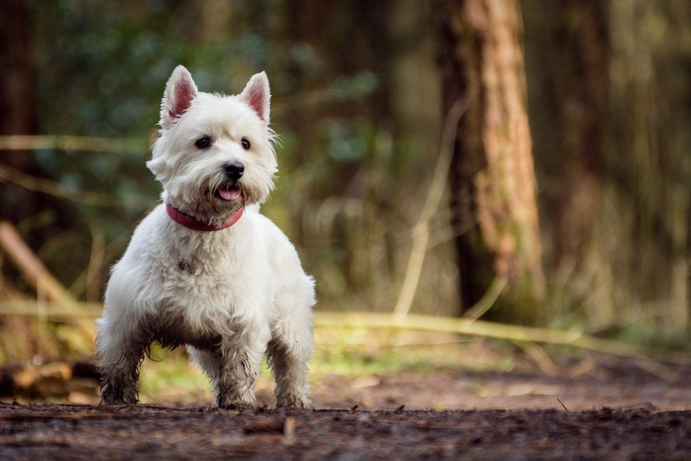 West Highlander White terrier