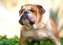 Buldogue inglês cão