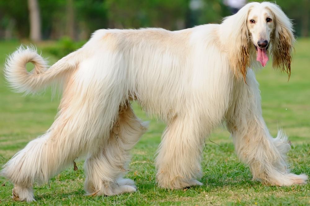 Afghan hound raça