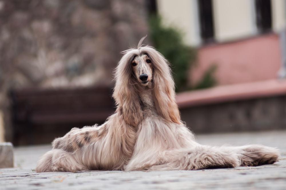 Afghan hound cachorro