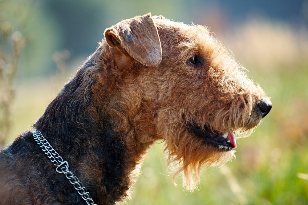 Airedale terrier cão