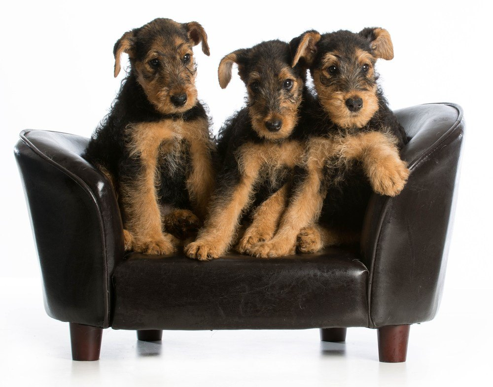 Airedale terrier filhote