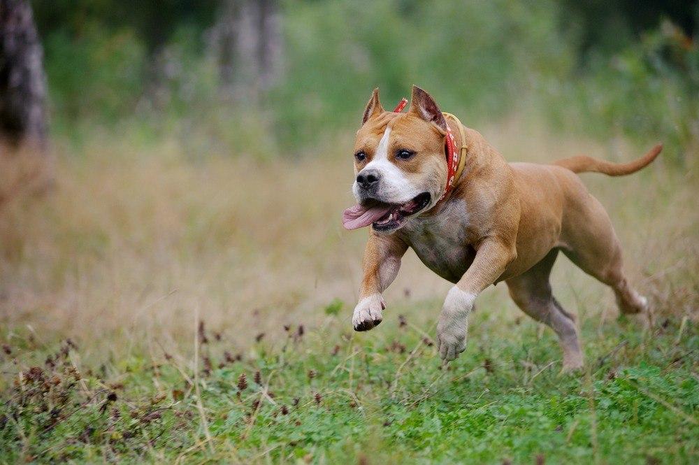 American Staffordshire terrier raça