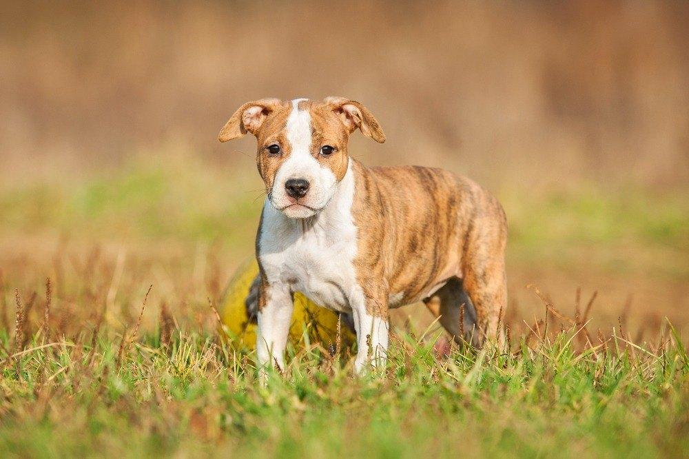 American Staffordshire terrier filhote
