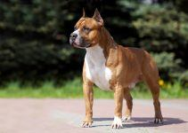 American Staffordshire terrier cão