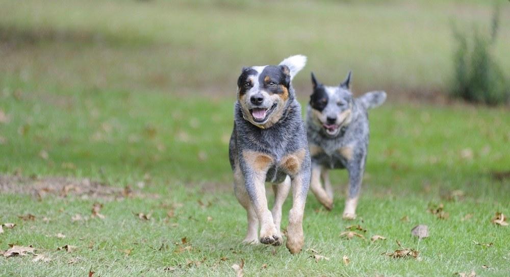 Boiadeiro australiano cachorro