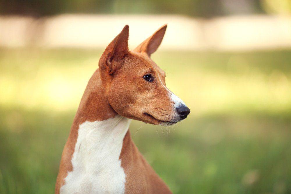 Basenji cão