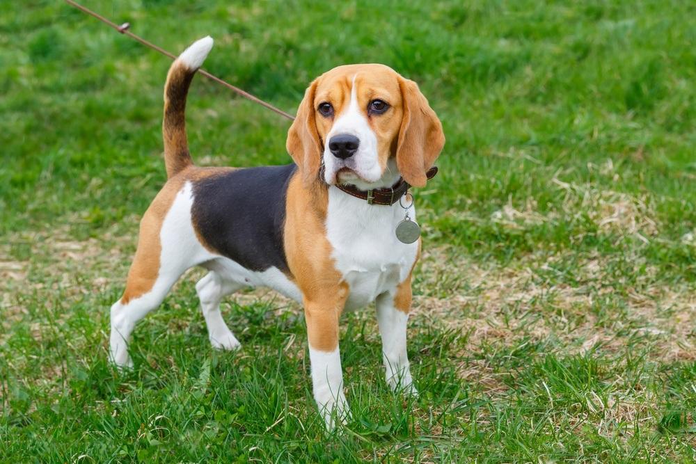 Beagle raça