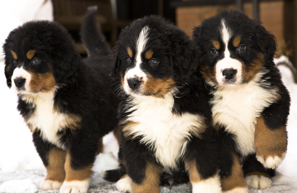 Bernese Mountain Dog filhote