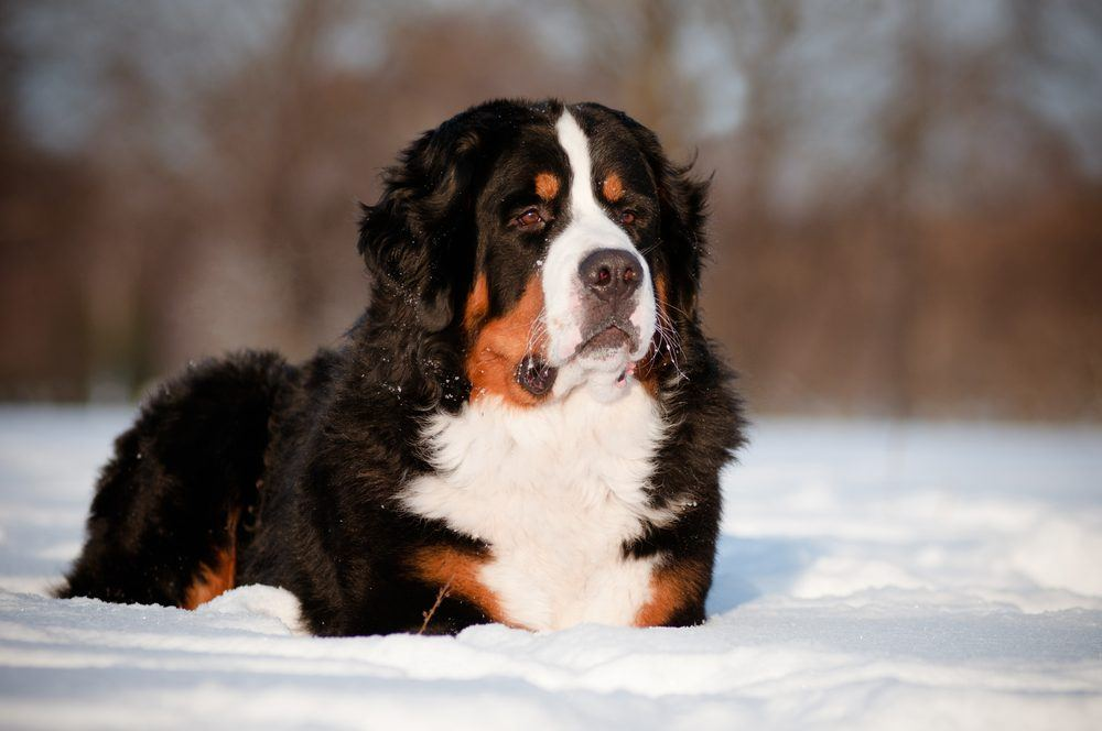 Bernese Mountain Dog raça