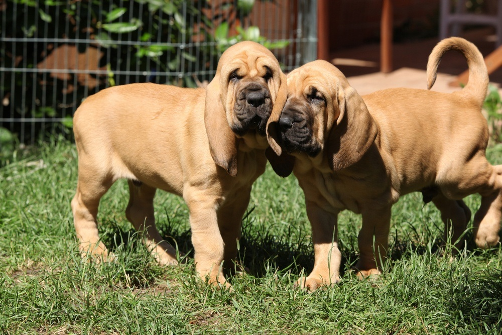 filhote de Bloodhound