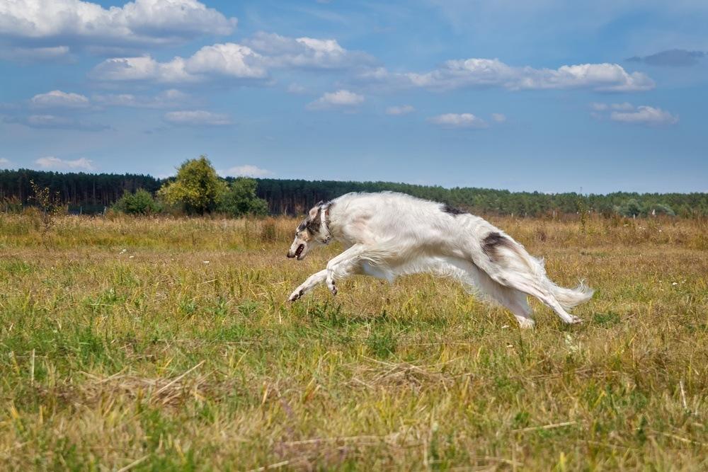 Borzoi cão