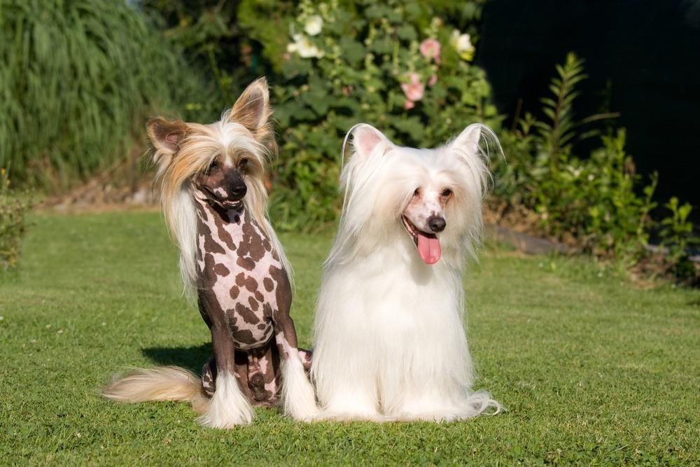 Cão de Crista Chinês origem