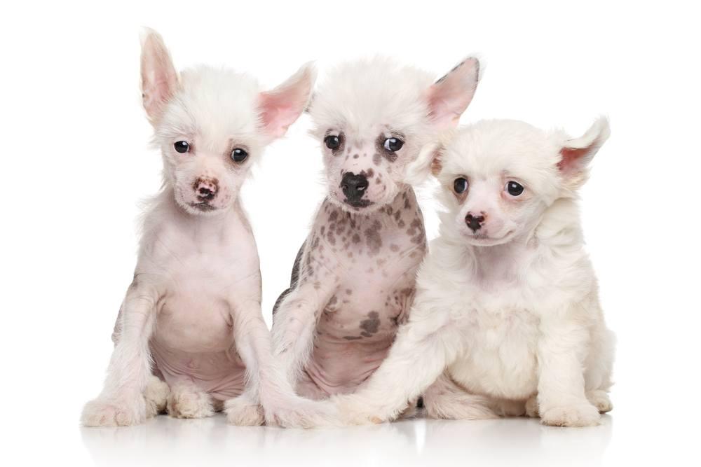 Cão de Crista Chinês filhote