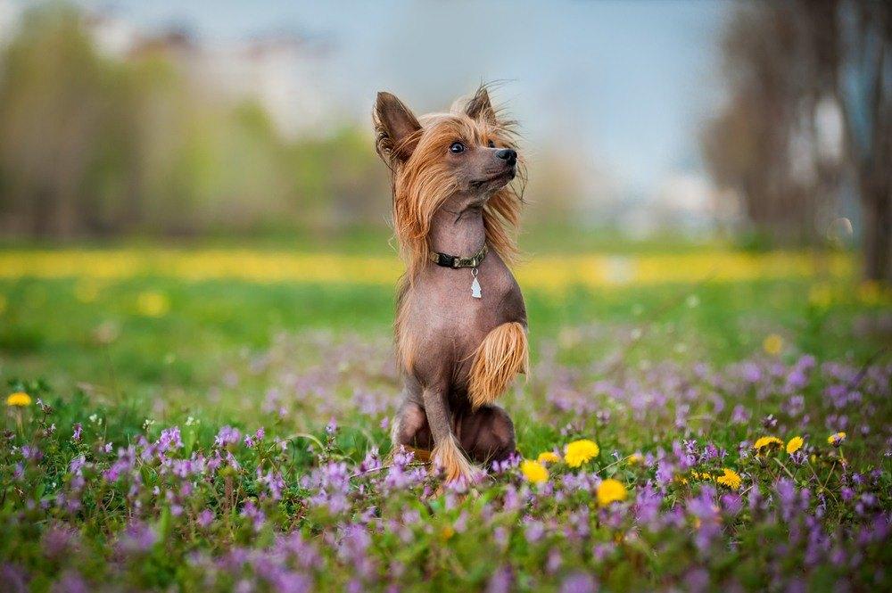 Cão de Crista Chinês cachorro