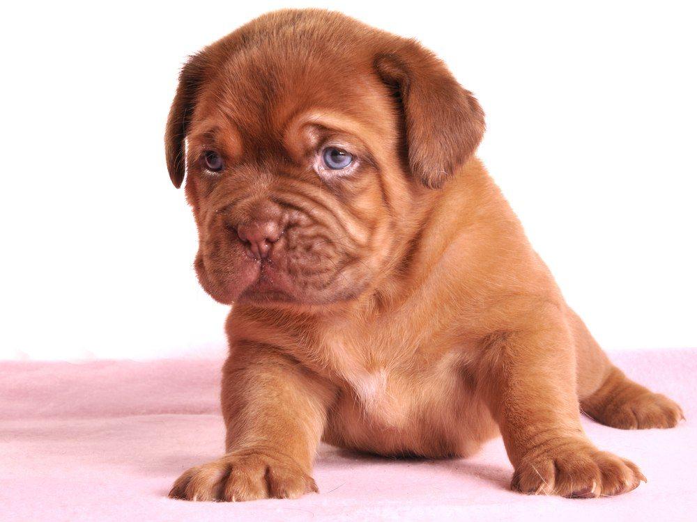 Dogue de Bordeaux filhote