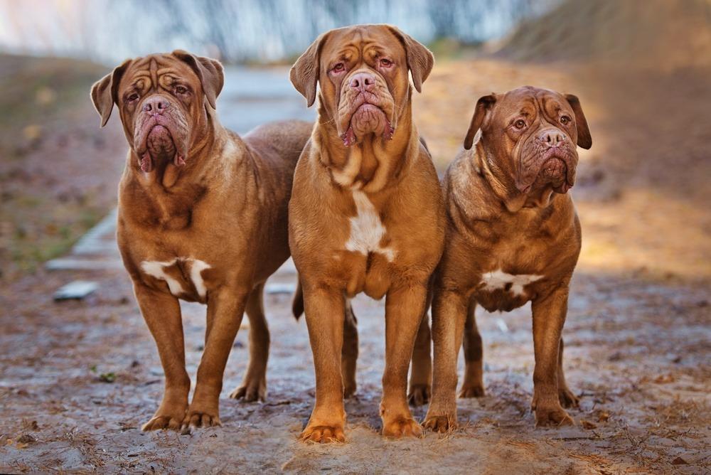 Dogue de Bordeaux cachorro