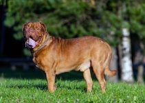 Dogue de Bordeaux cão