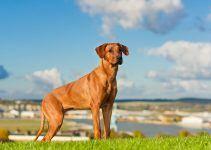 Leão da Rodésia cão
