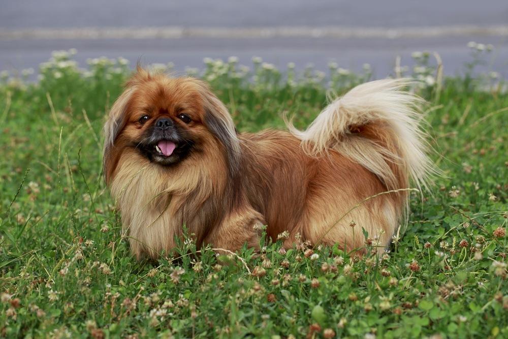 Pequinês cão