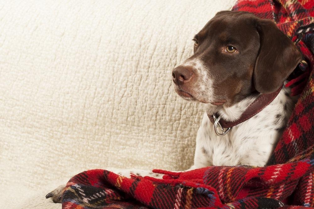 Pointer inglês cão