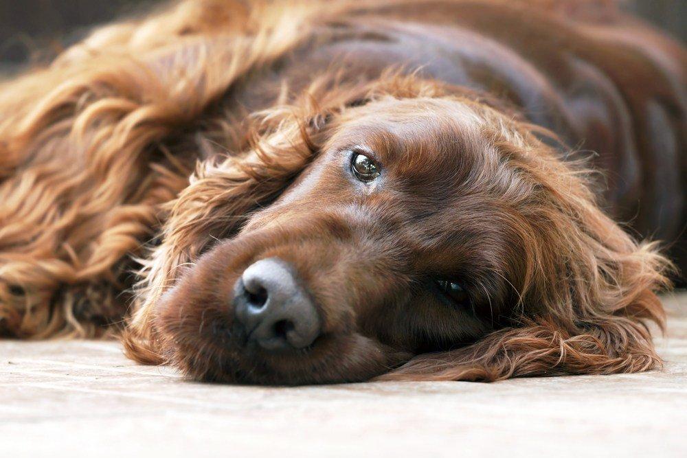 cão Setter irlandês