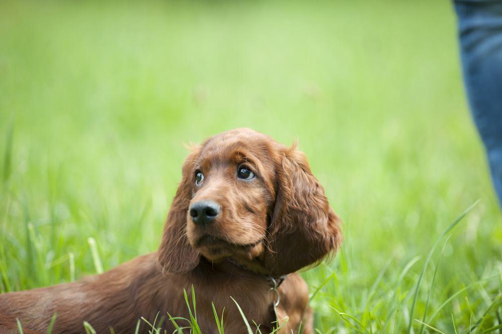 Setter irlandês cão