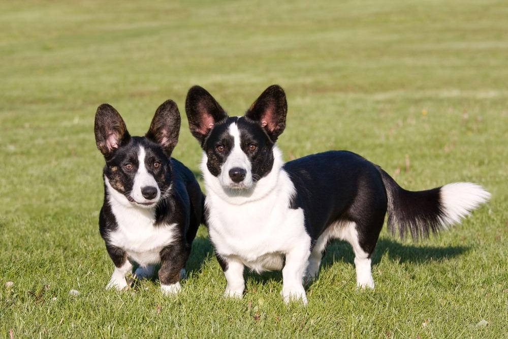 Welsh Corgi Pembroke cão