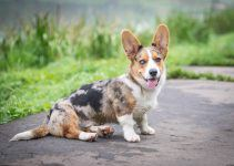 Welsh Corgi Cardigan cão