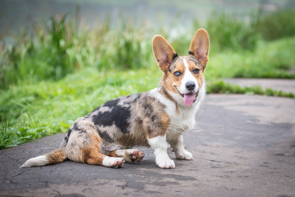 Welsh Corgi Cardigan cão