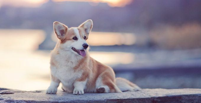 Welsh Corgi Pembroke cachorro