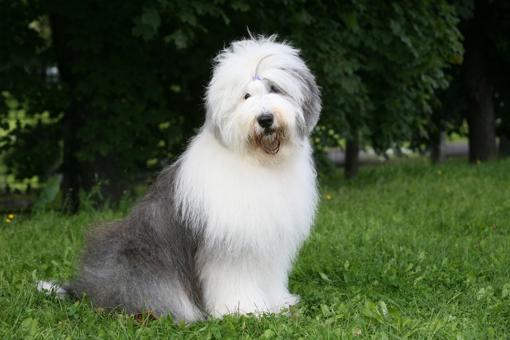 cachorro Old English Sheepdog