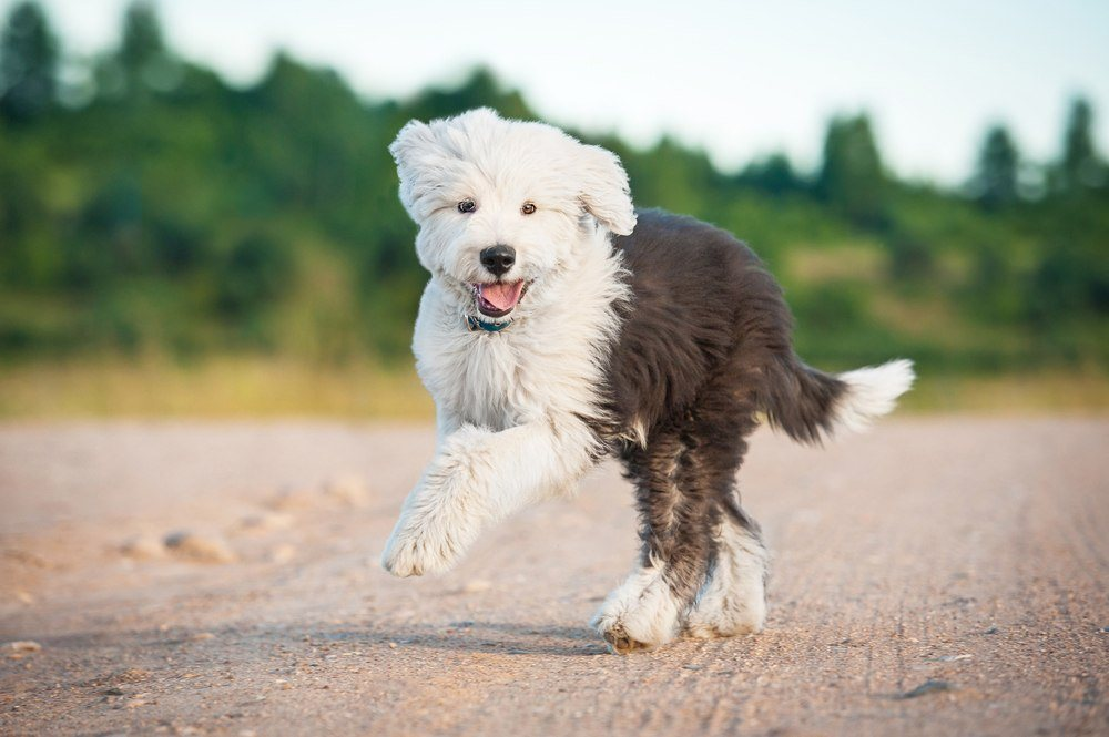 Old English Sheepdog correndo