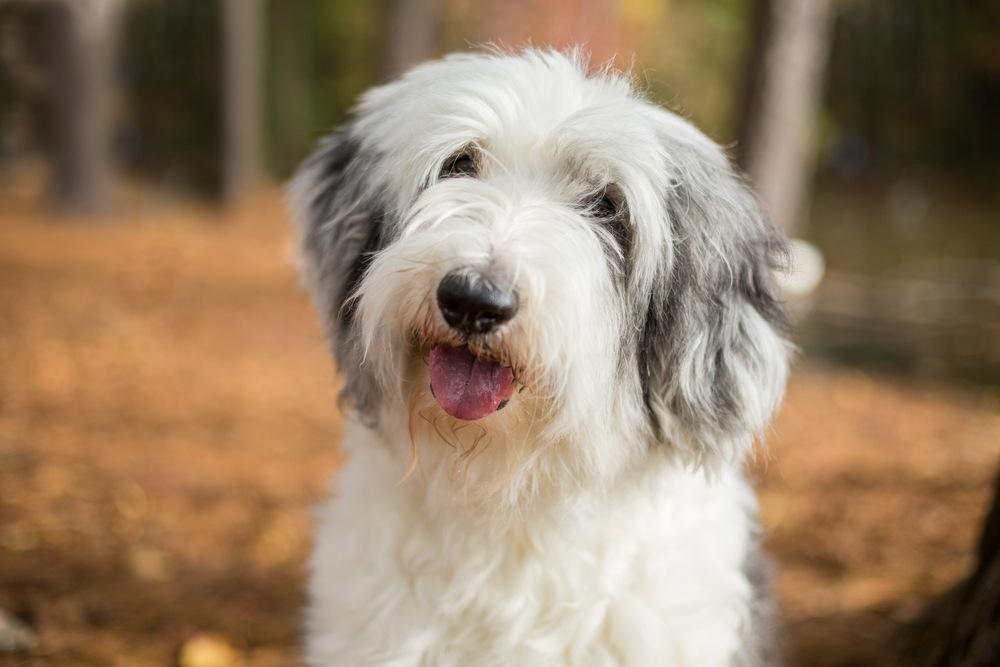 Old English Sheepdog cão
