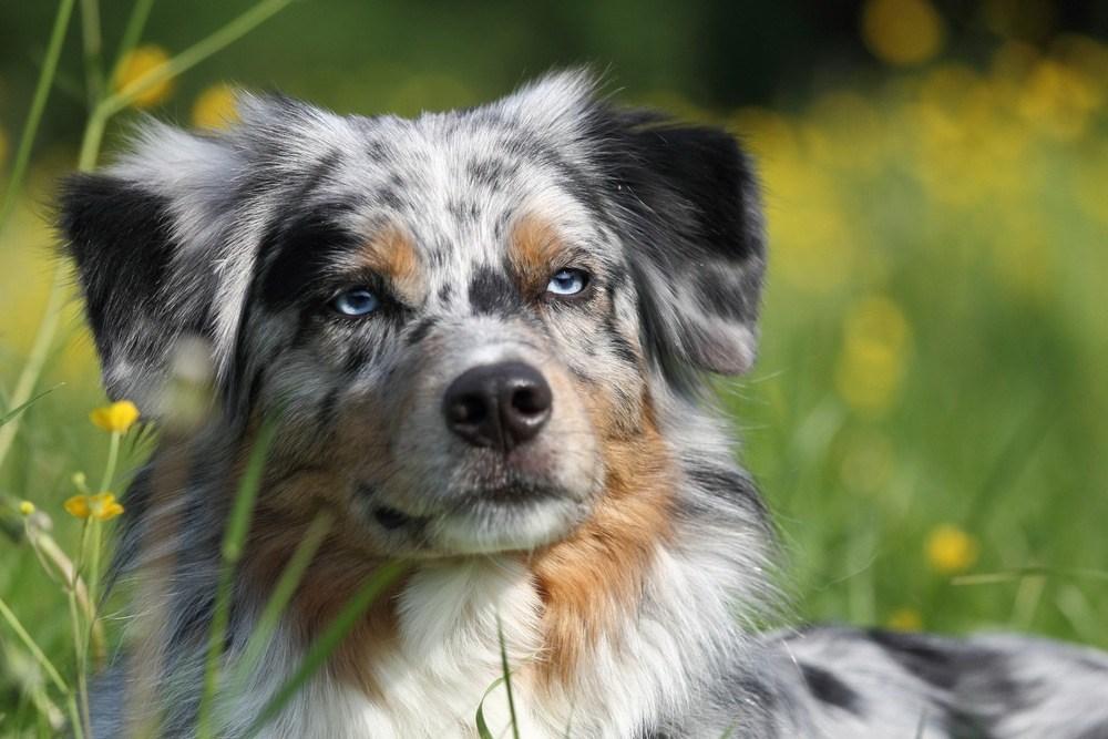 Pastor australiano cão
